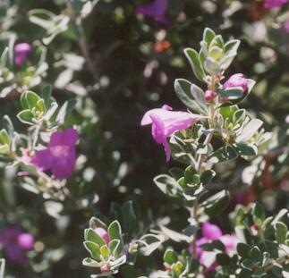 Picture of Leucophyllum frutescens