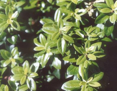 Picture of Pittosporum tenuifolium