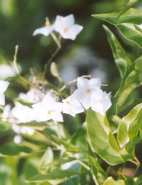 Picture of Solanum jasminoides