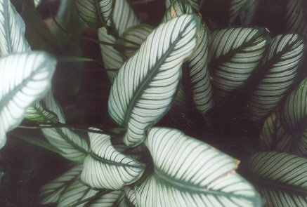 Picture of Calathea argyraea