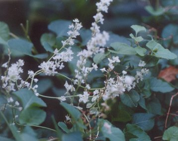 Picture of Polygonum aubertii