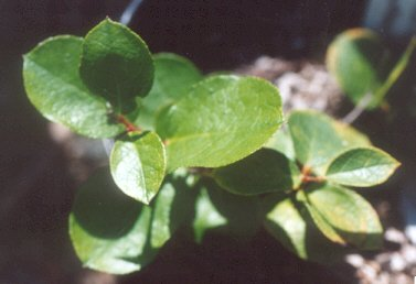 Picture of Gaultheria shallon