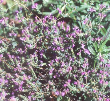Picture of Origanum microphyllum