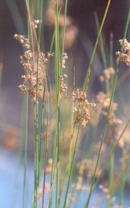 Picture of Juncus mexicanus