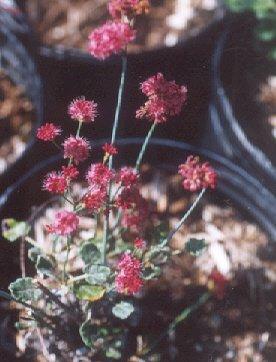 Picture of Eriogonum grande var. rubescens