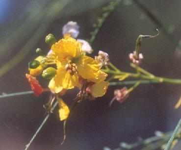 Picture of Parkinsonia aculeata
