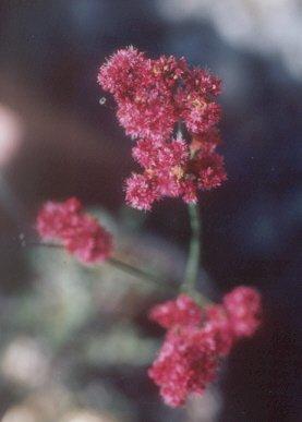 Picture of Eriogonum grande