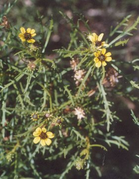 Picture of Encelia ventorum