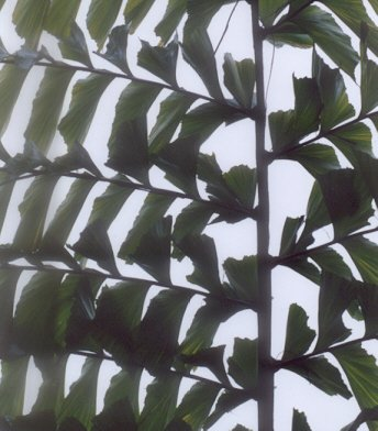 Picture of Caryota urens