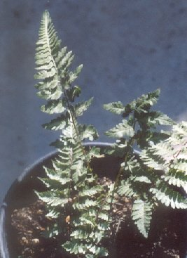 Picture of Athyrium otophorum