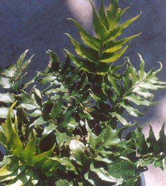 Picture of Cyrtomium falcatum