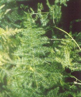 Picture of Asparagus setaceus