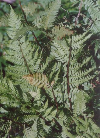 Picture of Athyrium nipponicum