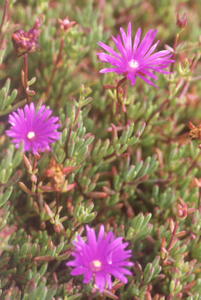 Picture of Lampranthus productus