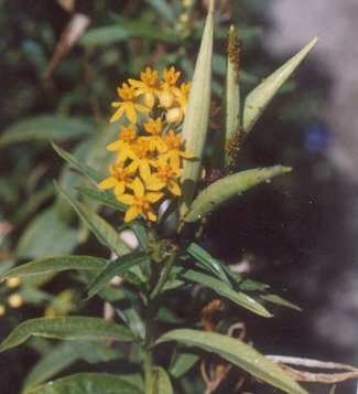 Picture of Asclepias sp.