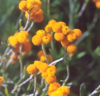 Picture of Helichrysum sp.