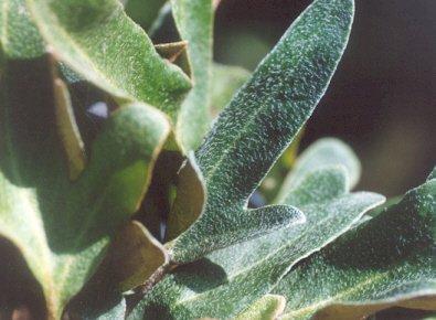 Picture of Pyrrosia lingua
