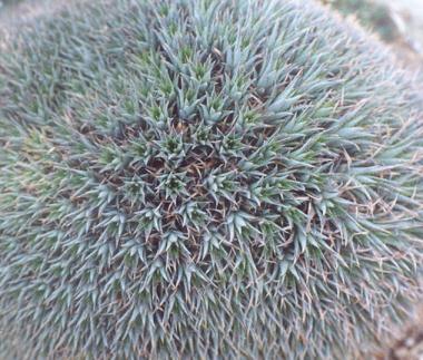 Picture of Abromeitiella brevifolia