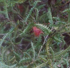 Picture of Grevillea sp.