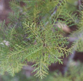 Picture of Lomatia tinctoria