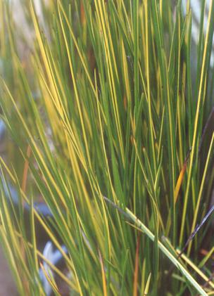 Picture of Baumea rubiginosa