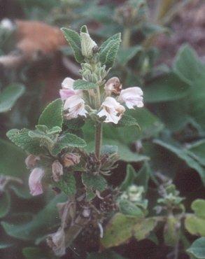 Picture of Phlomis cashmeriana