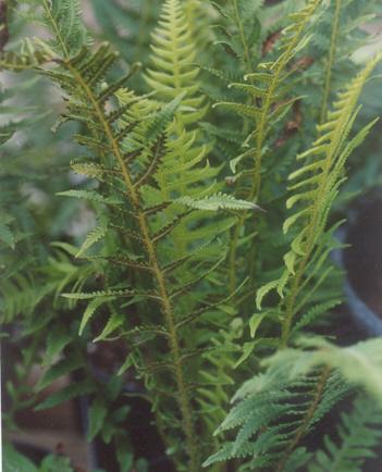 Picture of Thelypteris decursive-pinnata