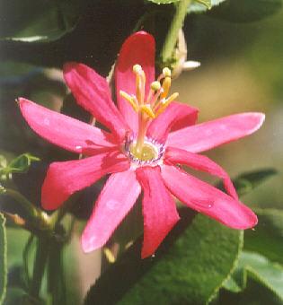 Picture of Passiflora jamesonii