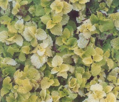 Picture of Geranium sp.