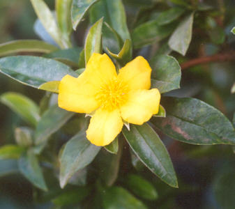 Picture of Hibbertia scandens
