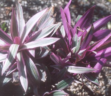 Picture of Tradescantia spathacea