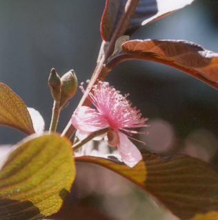 Picture of Psidium guajava
