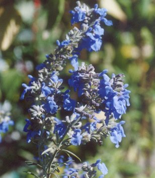 Picture of Salvia pitcheri