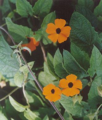 Picture of Thunbergia alata