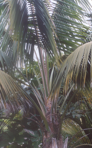 Picture of Howea forsteriana