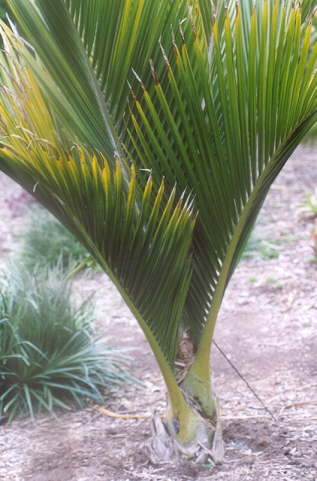Picture of Rhopalostylis sapida