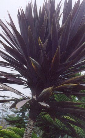 Picture of Cordyline sp.