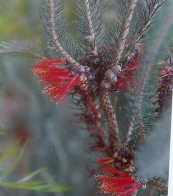 Picture of Calothamnus villosus