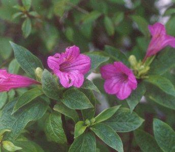 Picture of Ruellia macrantha