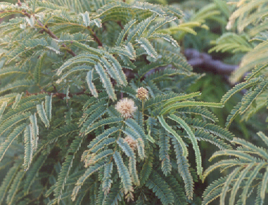 Picture of Lysiloma microphyllum ssp. thronberi