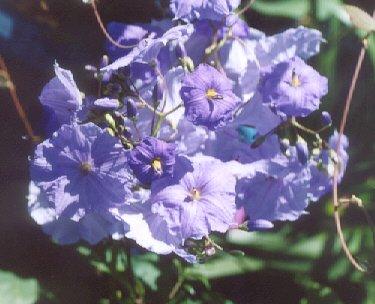 Picture of Solanum wendandii