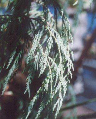 Picture of Cupressus cashmeriana