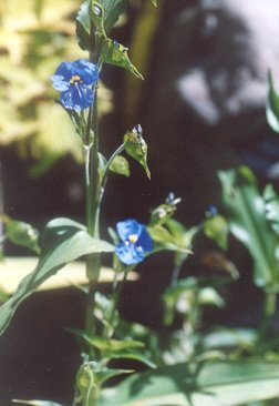 Picture of Commelina coelestis