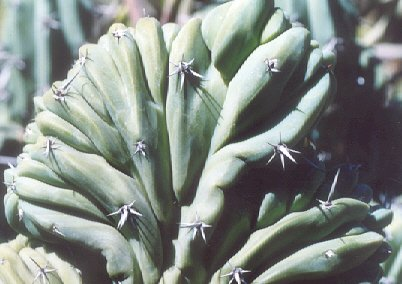 Picture of Myrtillocactus geometrizans