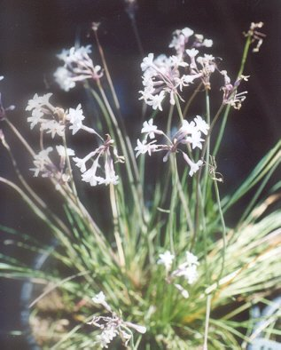 Picture of Tulbaghia cominsii