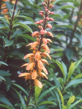Picture of Isoplexis canariensis