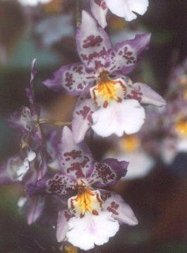 Picture of Odontoglossum