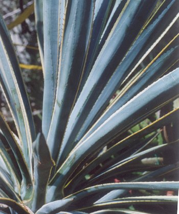 Picture of Agave tequilaria