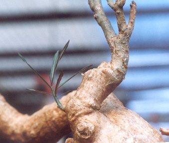 Picture of Adenium somalense var. noya