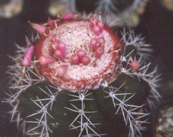 Picture of Melacactus violaceus